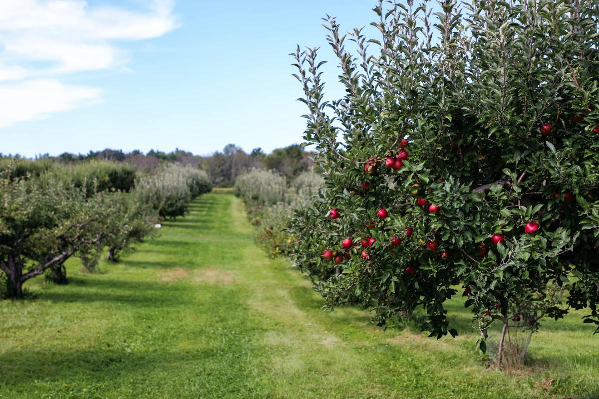 果樹園の木に赤いリンゴ